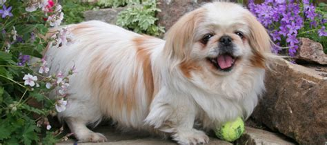 pomeranian rescue ma colorado peke and pom rescue pekingese and pomeranian dogs for adoption