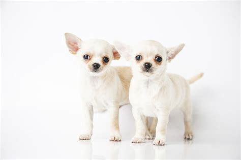 white chihuahua puppies chihuahua dies after owner dumps in box nature news express co uk