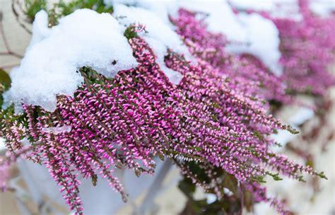 fiore d inverno 10 piante resistenti al freddo fioriscono in inverno