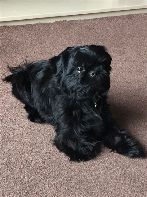 black shih tzu for sale kc reg imperial black shih tzu stud crook county