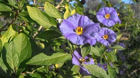 fiori in generale solanum piante da giardino pianta solano