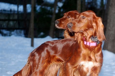 irish setter dog cost how much does an irish setter cost howmuchisit org