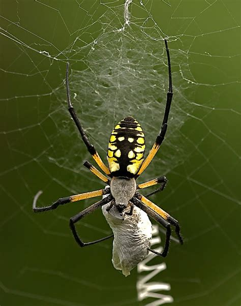 is the black and yellow garden spider poisonous