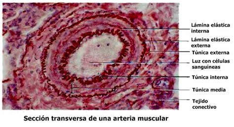 membrana elastica interna estructura y funci 243 n de los vasos sangu 237 neos