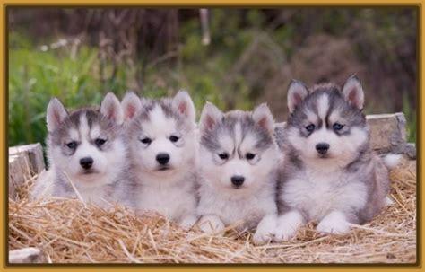 imagenes de animales lobos fotos de perros lobos cachorros archivos imagenes de