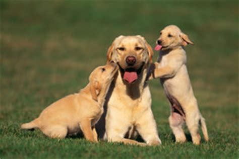 golden retriever kurzhaar golden retriever kurzhaar haltungshinweise