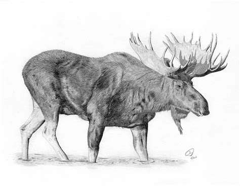 moose drawing