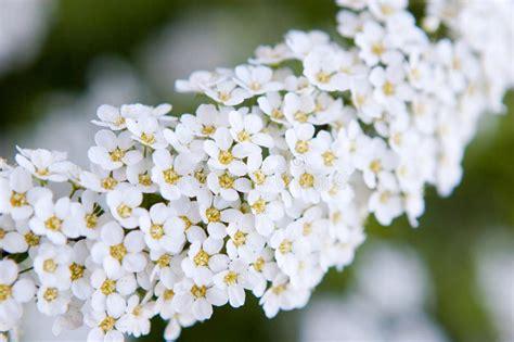 fiori bianchi piccoli piccoli fiori bianchi immagine stock immagine di