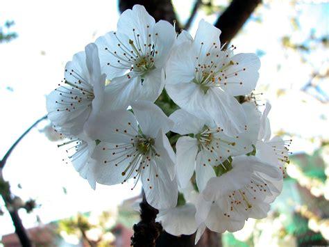 imagenes flores de cerezo llenemos nuestra casita de flores amistad amistad