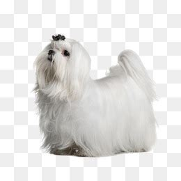 shih tzu png shih tzu png images vectors and psd files free on pngtree