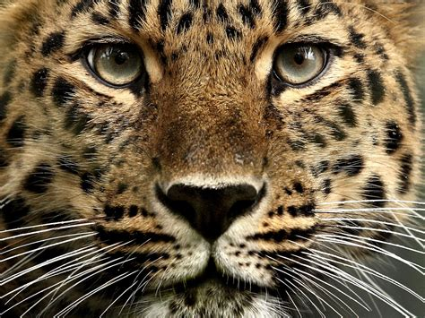 the leopard follow the piper amur leopards