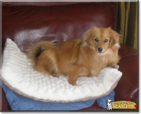 pomeranian and dachshund mix pomeranian terrier mix images pictures becuo breeds picture