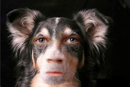 dogs that look like humans 10 dogs photoshopped to look like humans dogs like humans oddee
