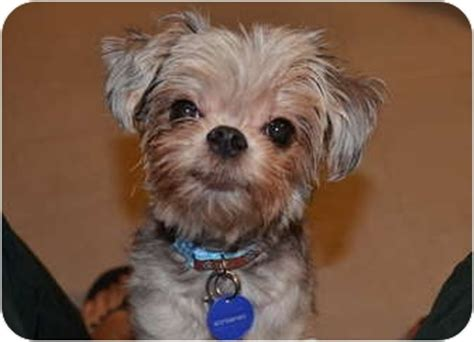 yorkie puppies st petersburg fl chevy adopted 11 157 st petersburg fl yorkie terrier shih tzu mix