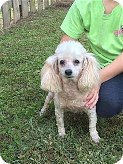 adoption baton maddie adopted baton la poodle miniature