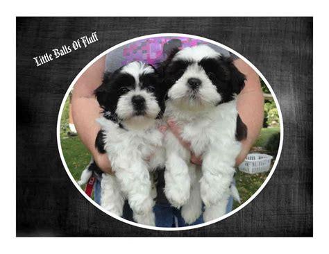 shih tzu cincinnati shih tzu faq frequently asked questions about shih tzu dogs breeds picture