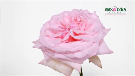 Pink O pink o hara garden timelapse