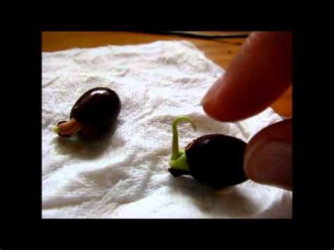 lychee seeds germination done youtube