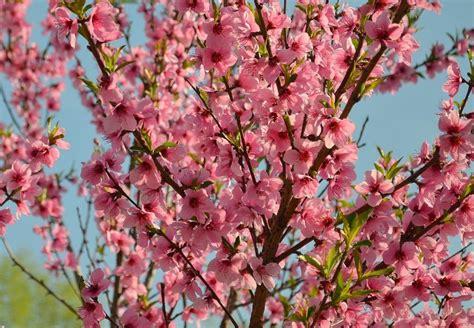 immagini fiori di pesco tante idee per un bouquet con fiori di pesco lombarda flor