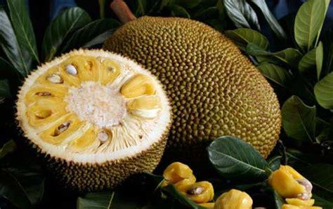 imagenes de jackfruit jaca viveiro ip 234