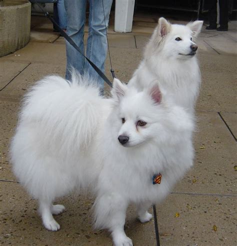 American Eskimo Shed by Miniature American Eskimo Shedding 28 Images Dogs That