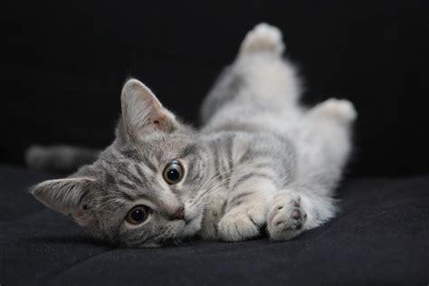imagenes increibles de gatos por qu 233 mi gato se revuelca en el suelo