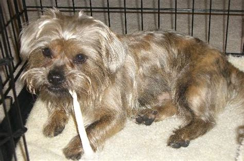clippers for shih tzu clipper the shih tzu yorkie mix s web page