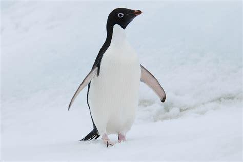 Adelie Penguin - F