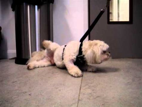 shih tzu shaking trembling epilepsy focal seizure in a russel funnydog tv
