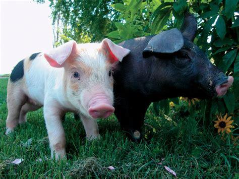 Animal Farm Pig raising pigs on your farm animals grit magazine