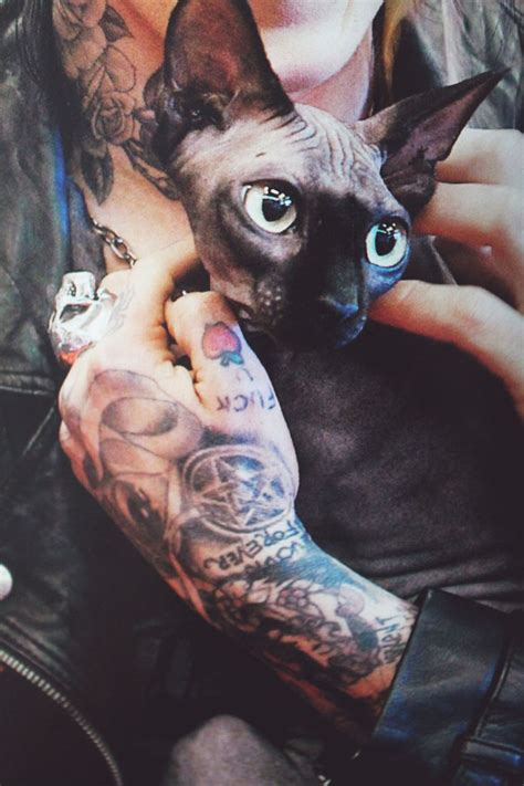 tattooed hairless cat 25 best ideas about sphynx on sphynx cat