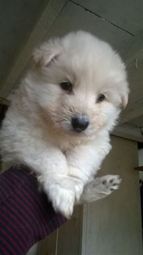 white german shepherd puppies for adoption german shepherd puppies for adoption german shepherds for adoption breeds picture