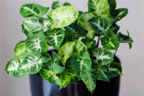 common house plant with shaped leaves 10 toxic houseplants that are dangerous for children and