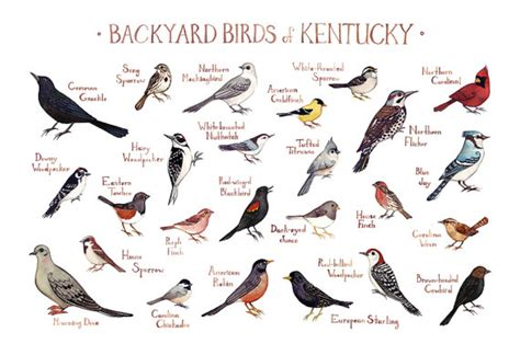 kentucky backyard birds field guide art print watercolor