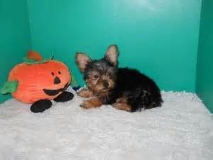 teacup yorkies for sale in kansas city pets kansas city ks free classified ads