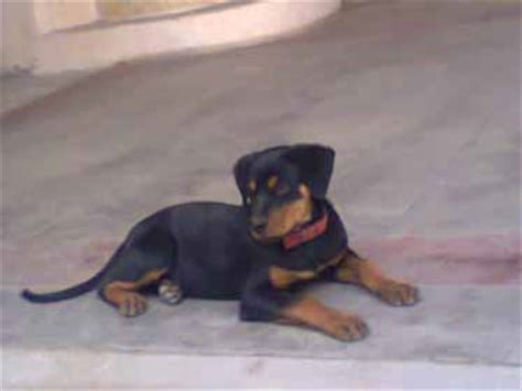 rottweiler behaviour problems rottweiler information and facts breeds