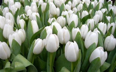 immagini di fiori bianchi scarica sfondi tulipani bianchi fiori co per desktop
