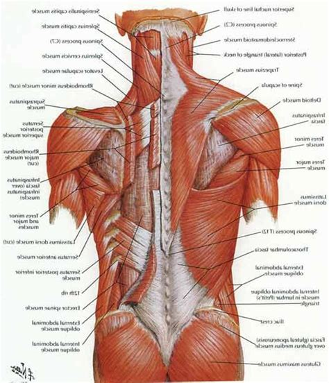 the back muscles diagram lower back muscles muscles muscles