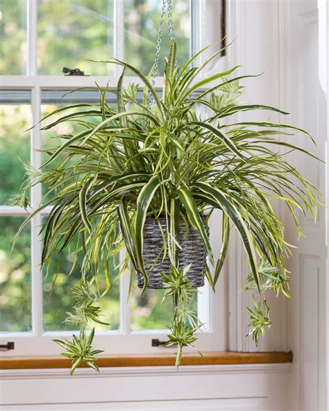 spider plant low light 15 best low light indoor plants