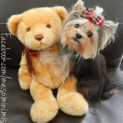 yorkie misa 175 best images about misa minnie on cutest dogs and yorkie