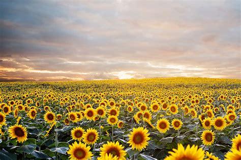 sunflowers in kansas sunflower fields forever kansas city photographer