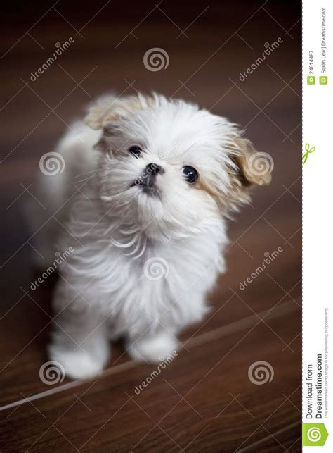3 month shih tzu 3 months shih tzu maltese puppy royalty free stock photography image 24614497