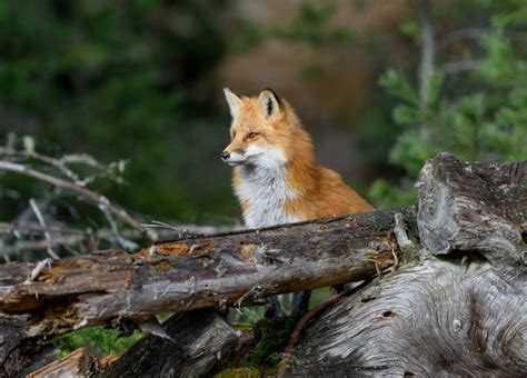 how to get rid of foxes without killing them in winter