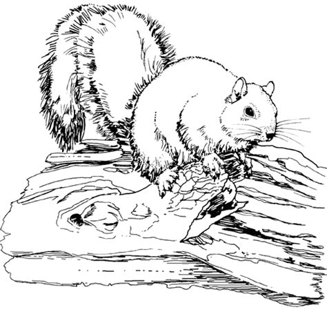 realistic fox coloring page tpwd kids color the fox squirrel