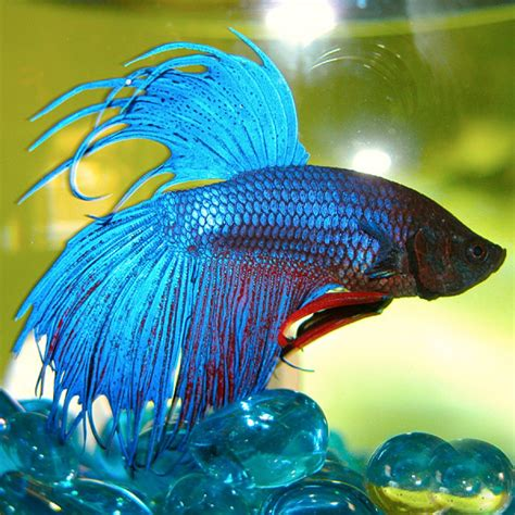 Mexican Home Decor by Siamese Fighting Fish Betta Splendens Amazing Amazon