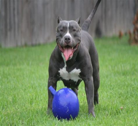 blue nose puppies blue nose pitbull 15 interesting facts about this