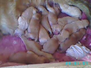 golden retriever precio argentina cachorros golden retriever clasificados