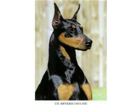 doberman shepherd puppies for sale doberman pinscher puppies for sale akc doberman puppies only 3 left breeds picture