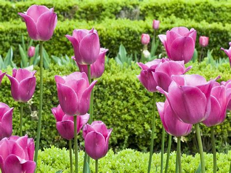 wallpaper pink tulip pink tulip flower pictures 2013 wallpapers