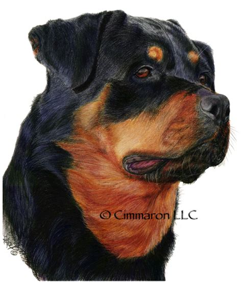 rottweiler drawings rottweiler drawing cimmaron canine pet portraits pet drawings